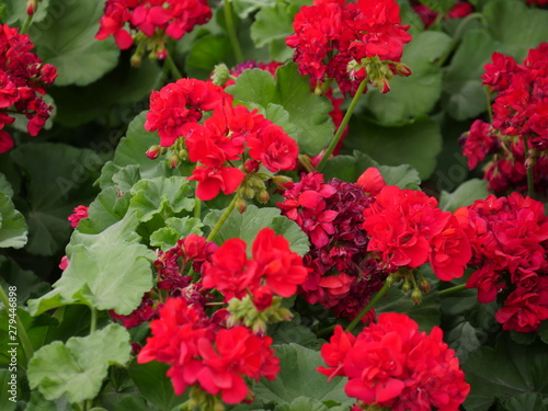 Beautiful red flowers in a garden park