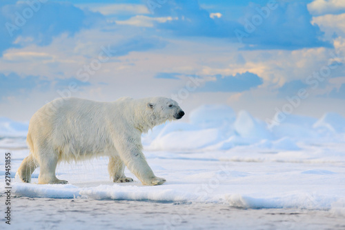 Polar bear on drift ice edge with snow and water in Svalbard sea. White big animal in the nature habitat, Europe. Wildlife scene from nature. Dangerous bear walking on the ice.