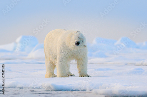Deurstickers Ijsbeer Polar bear on drift ice edge with snow and water in Svalbard sea. White big animal in the nature habitat, Europe. Wildlife scene from nature. Dangerous bear walking on the ice.