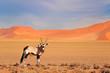 canvas print picture - Gemsbok with orange sand dune evening sunset. Gemsbuck, Oryx gazella, large antelope in nature habitat, Sossusvlei, Namibia. Wild animals in the savannah. Animal with big straight antler horn.