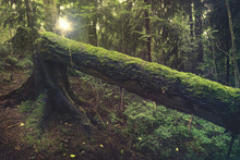 Old Fallen Mossy Tree In A Forest During Sunset