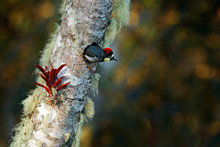 Acorn Woodpecker, Melanerpes Formicivorus. Beautiful Bird Sitting On The Green And Orange Lichen Branch, Nesting Hole. Birdwatching In America. Woodpecker From Costa Rica Mountain Forest.