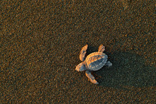 Loggerhead Sea Turtle, Caretta...