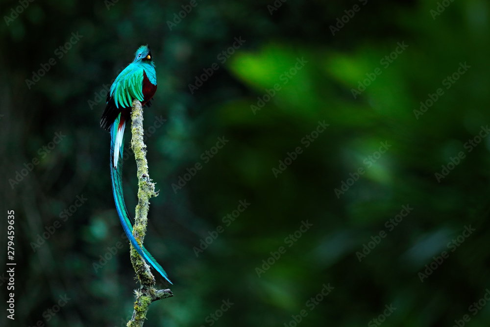 Fototapety, obrazy: Resplendent Quetzal, Pharomachrus mocinno, from Savegre in Costa Rica with blurred green forest in background. Magnificent sacred green and red bird. Detail forest hidden of Resplendent Quetzal.