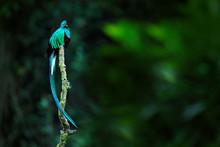Resplendent Quetzal, Pharomach...