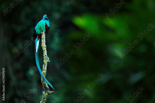 Obraz Resplendent Quetzal, Pharomachrus mocinno, from Savegre in Costa Rica with blurred green forest in background. Magnificent sacred green and red bird. Detail forest hidden of Resplendent Quetzal. - fototapety do salonu