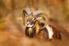 Mouflon, Ovis Orientalis, Portrait Of Mammal With Big Horns, Prague, Czech Republic. Wildlife Scene Form Nature. Animal Behavior In Forest. Muflon With Big Horns On The Head, In The Forest.