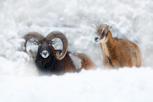 Mouflon, Ovis Orientalis, Horned Animal In Nature Habitat. Close-up Portrait Of Mammal With Big Horns, Czech Republic. Cold Snowy Tree Vegetation, White Nature. Snowy Winter In Forest.
