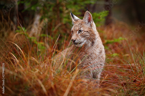 Fotobehang Lynx Eurasian lynx walking. Wild cat from Germany. Bobcat among the trees. Hunting carnivore in autumn grass. Lynx in green forest. Wildlife scene from nature, Czech, Europe.