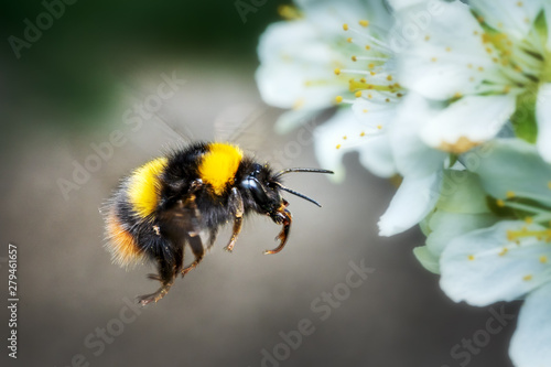 Foto In flight flying bumblebee in spring on fruit tree blossom