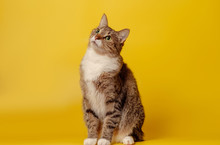 Attentive Cat On Yellow Backgr...
