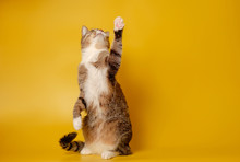 Cat Is Sitting On Hind Legs And Pawing Up On Yellow Background