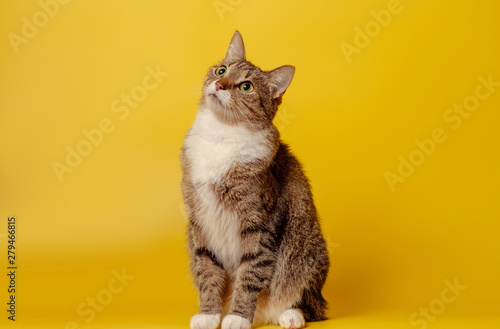 attentive cat on yellow background Canvas Print