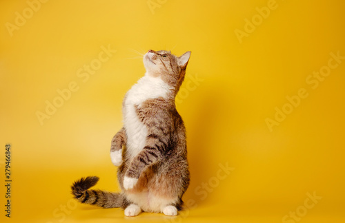 cat is sitting on hind legs on yellow background