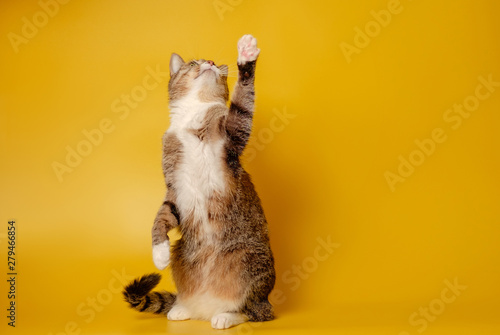 Photo cat is sitting on hind legs and pawing up on yellow background
