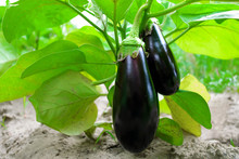 Ripe Eggplant In The Garden. F...