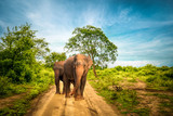 Fototapeta Sawanna - Big Asian elephants  at Udawalawe National Park, Sri Lanka