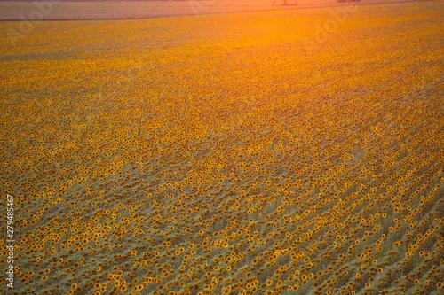 Montage in der Fensternische Honig Sunflower field, view from above