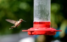 Hummingbirds In The Wild Feedi...