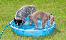 Two Dogs Playing In A Kiddie Pool, One Diving Her Head Under Water, The Other Watching The Splashes; Both Getting Cool On A Hot Day