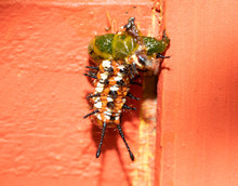 Variegated Fritillary Butterfly Caterpillar Half Eaten By A Bird Or Other Predator, Hanging Onto An Orange Trellis; Concept Of Being Part Of Circle Of Life