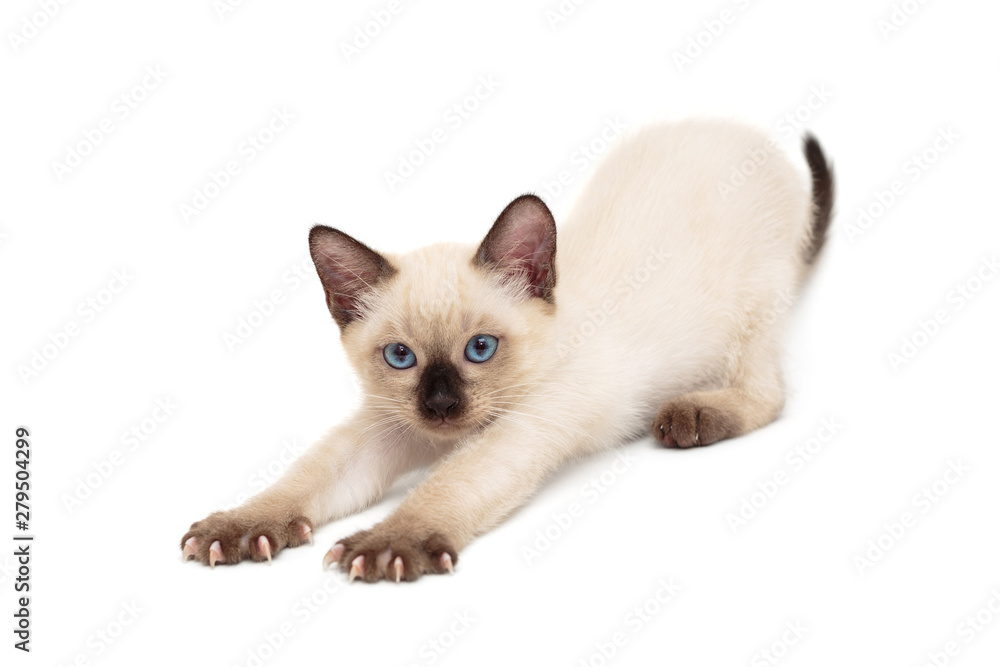 Fototapety, obrazy: Small, sleepy Siamese kitten