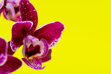 Blooming Mini Velvet Burgundy  Phalaenopsis Orchid Plant Isolated On Bright Yellow Background. Moth Orchids. Tribe: Vandeae. Order: Asparagales.