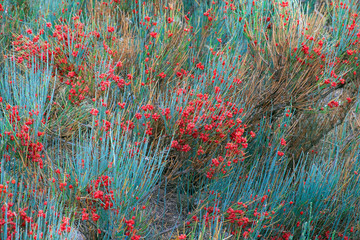 Fototapetabackground blooming ephedra with red flowers and turquoise shoots