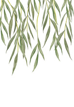 Willow Leaves Isolated On White Background.