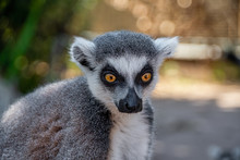 Portrait View Of A Ring Tailed Lemurs Head