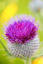 Magnifique Fleur De Chardon En...