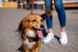 Fototapeta Zwierzęta - woman is walking with her dog. Funny spaniel mutt in summer city street