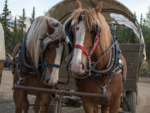 Draft Horses Hitched To Covered Wagon