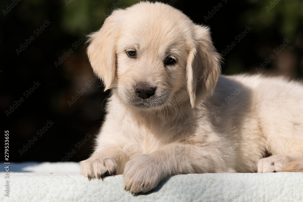 puppy breed golden retriever looks