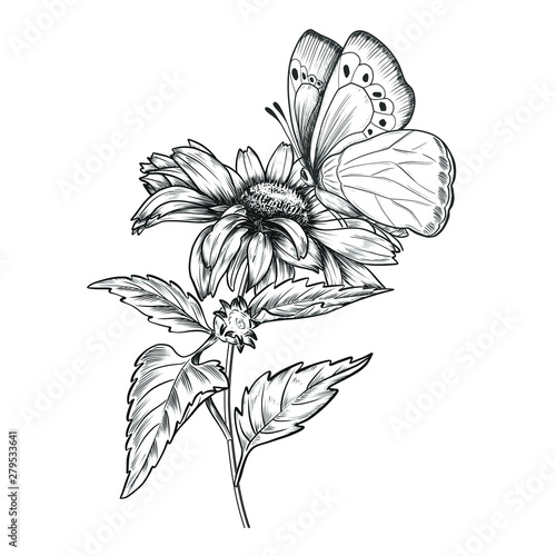 Hand drawn sunflower with butterfly. Vintage pen and ink flower illustration. Botanical design.