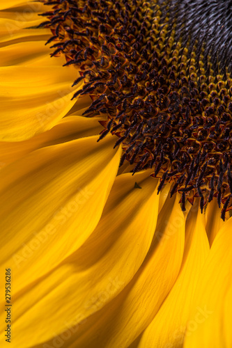 Yellow sunflower in bloom with yellow petals close up still