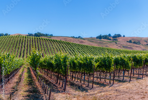 Fotografia A panoramic of green vineyards climbing the hillside during summer in Sonoma Wine County