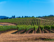 A Panoramic Of Green Vineyards...
