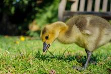 Canada Goose Baby Walking Around
