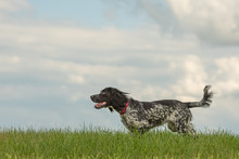 Young Proud English Springer S...