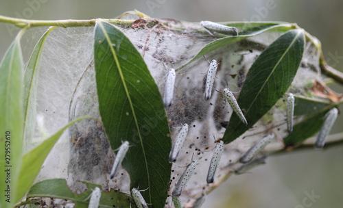 Tablou Canvas bird cherry ermine (Yponomeuta evonymella) day active moth on tree