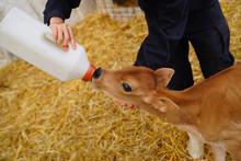 子牛の授乳