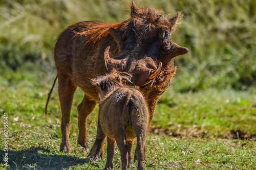 Common Warthog or Pumba interacting and playing in a South African game reserve Canvas Print