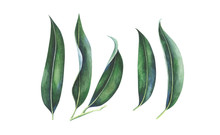 Tropical Leaves Set Isolated On White. Watercolor Hand Drawn Illustration.