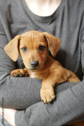 Cute Dachshund Puppy On Hand Buy This Stock Photo And Explore