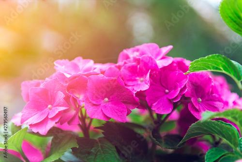 Foto op Plexiglas Hydrangea Beautiful Hydrangea Flowers in the Garden
