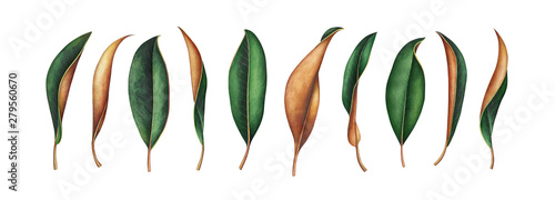 Fotografia Collection of magnolia leaves isolated on white