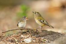 Goldcrest Feeding Baby Bird
