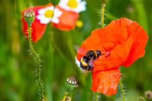 Bumblebee On Red Poppy Flower