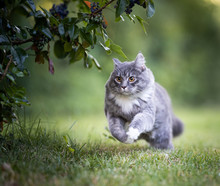 Young Playful Blue Tabby Maine...